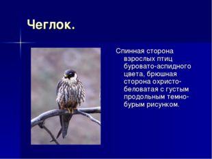 Чеглок. Спинная сторона взрослых птиц буровато-аспидного цвета, брюшная сторо