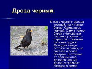Дрозд черный. Клюв у черного дрозда желтый, ноги темно-бурые. Самец весь черн
