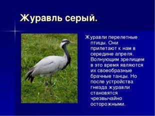 Журавль серый. Журавли перелетные птицы. Они прилетают к нам в середине апрел