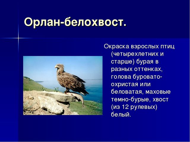 Орлан-белохвост. Окраска взрослых птиц (четырехлетних и старше) бурая в разны...