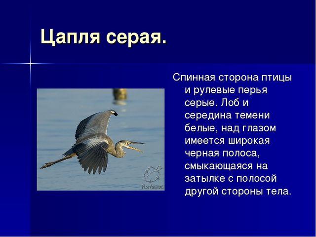Цапля серая. Спинная сторона птицы и рулевые перья серые. Лоб и середина теме...