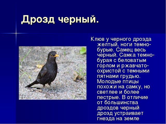 Дрозд черный. Клюв у черного дрозда желтый, ноги темно-бурые. Самец весь черн...