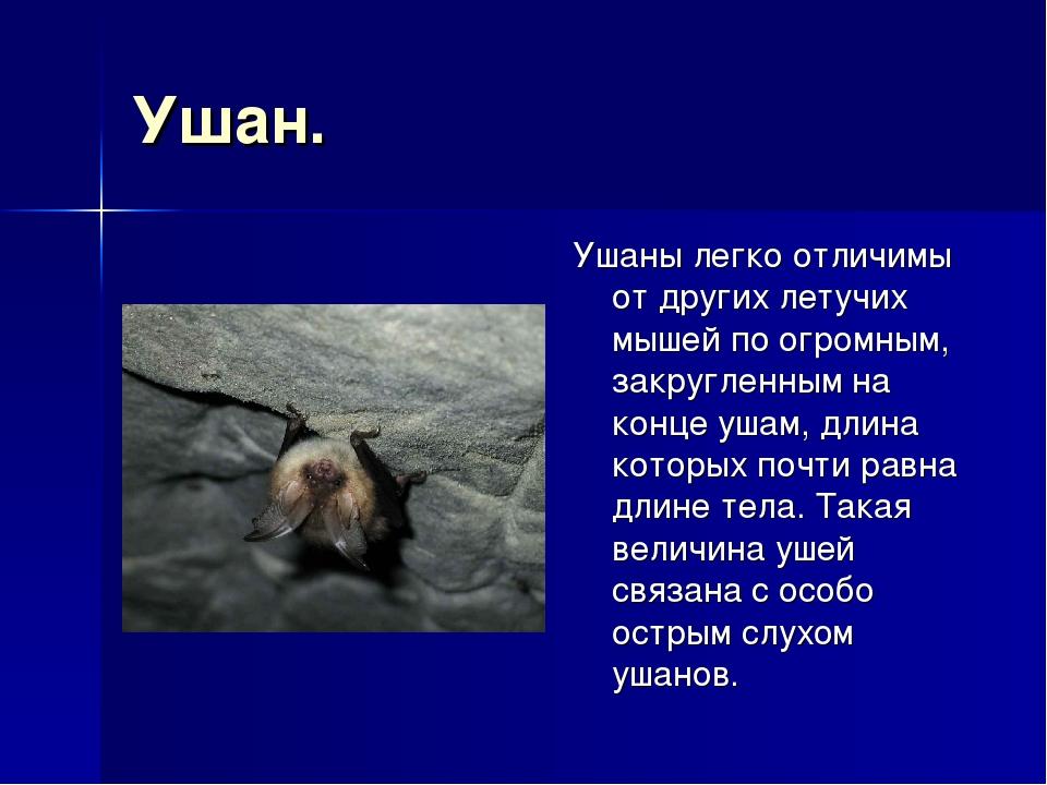 Ушан. Ушаны легко отличимы от других летучих мышей по огромным, закругленным...