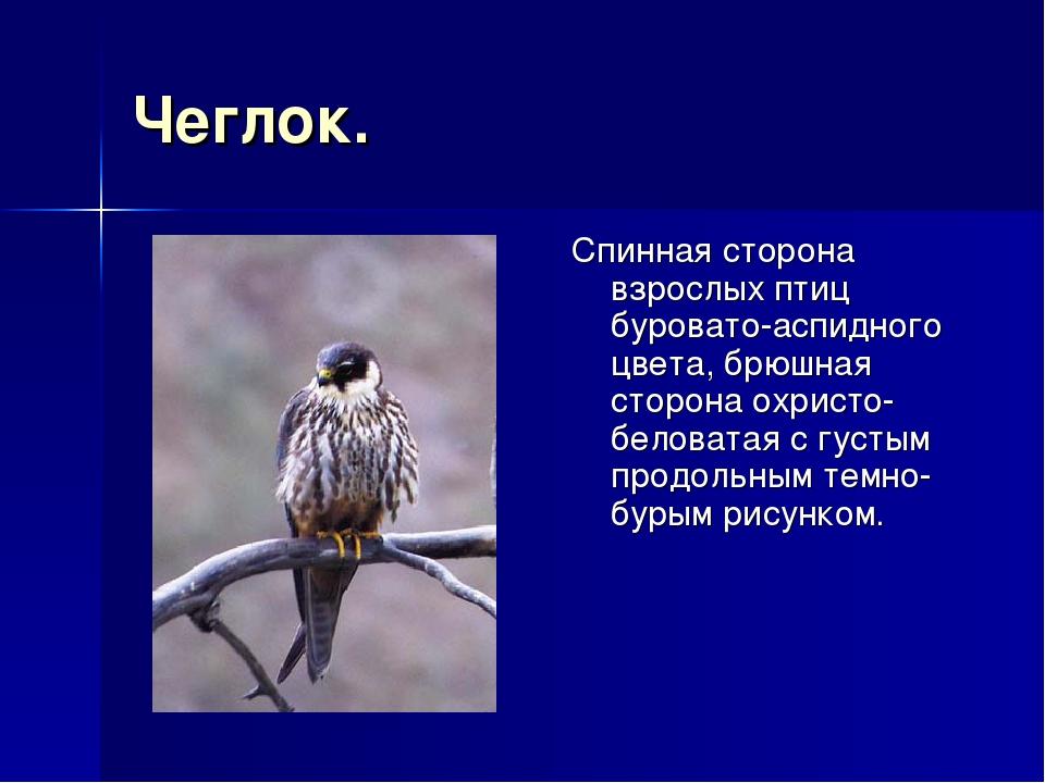 Чеглок. Спинная сторона взрослых птиц буровато-аспидного цвета, брюшная сторо...