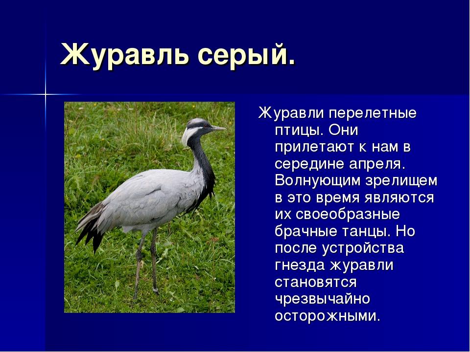 Журавль серый. Журавли перелетные птицы. Они прилетают к нам в середине апрел...