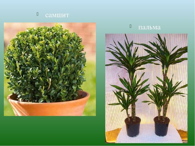 самшит пальма
