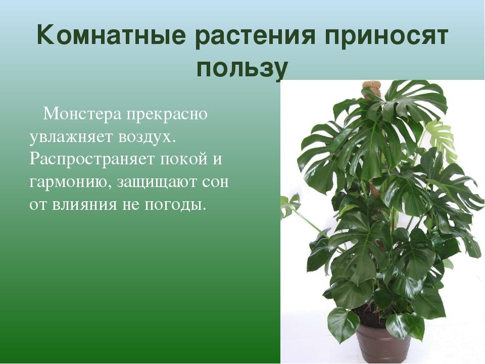 Комнатные растения приносят пользу Монстера прекрасно увлажняет воздух. Распр...
