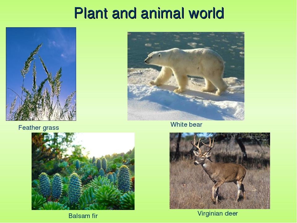 Plant and animal world Feather grass Balsam fir White bear Virginian deer