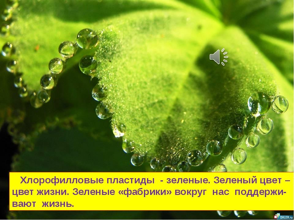 Хлорофилловые пластиды - зеленые. Зеленый цвет – цвет жизни. Зеленые «фабрик...