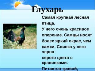 Глухарь Самая крупная лесная птица. У него очень красивое оперение. Самцы нос