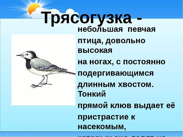 Трясогузка - небольшая певчая птица, довольно высокая на ногах, с постоянно п...