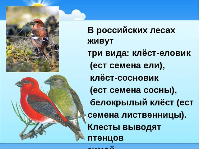 В российских лесах живут три вида: клёст-еловик (ест семена ели), клёст-сосн...