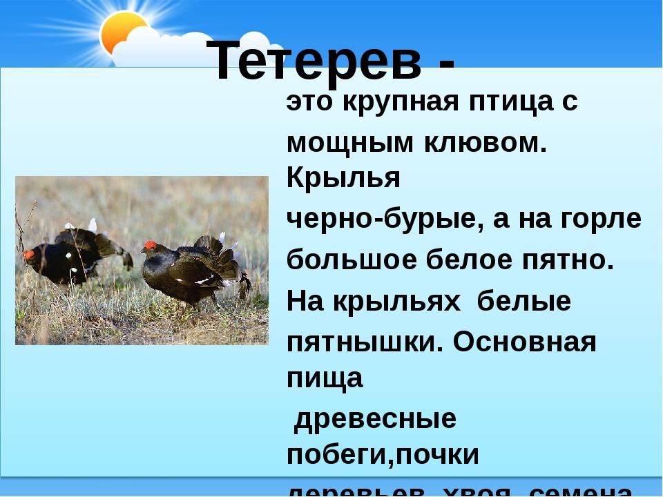 Тетерев - это крупная птица с мощным клювом. Крылья черно-бурые, а на горле б...
