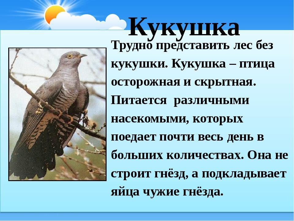 Кукушка Трудно представить лес без кукушки. Кукушка – птица осторожная и скр...