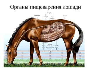 Органы пищеварения лошади