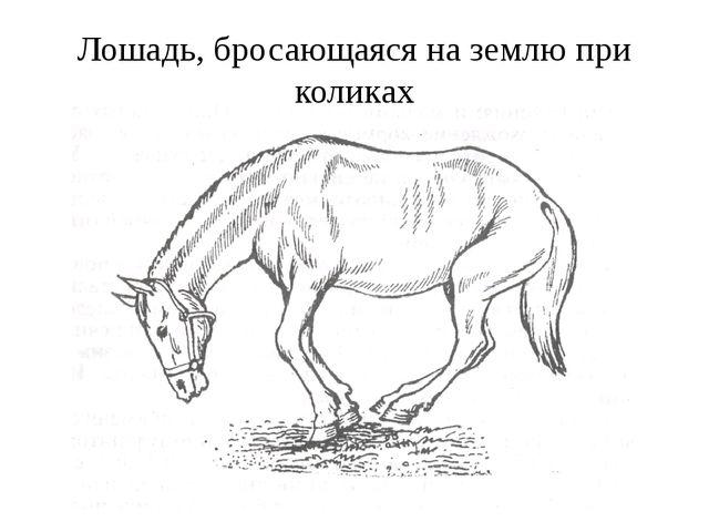 Лошадь, бросающаяся на землю при коликах