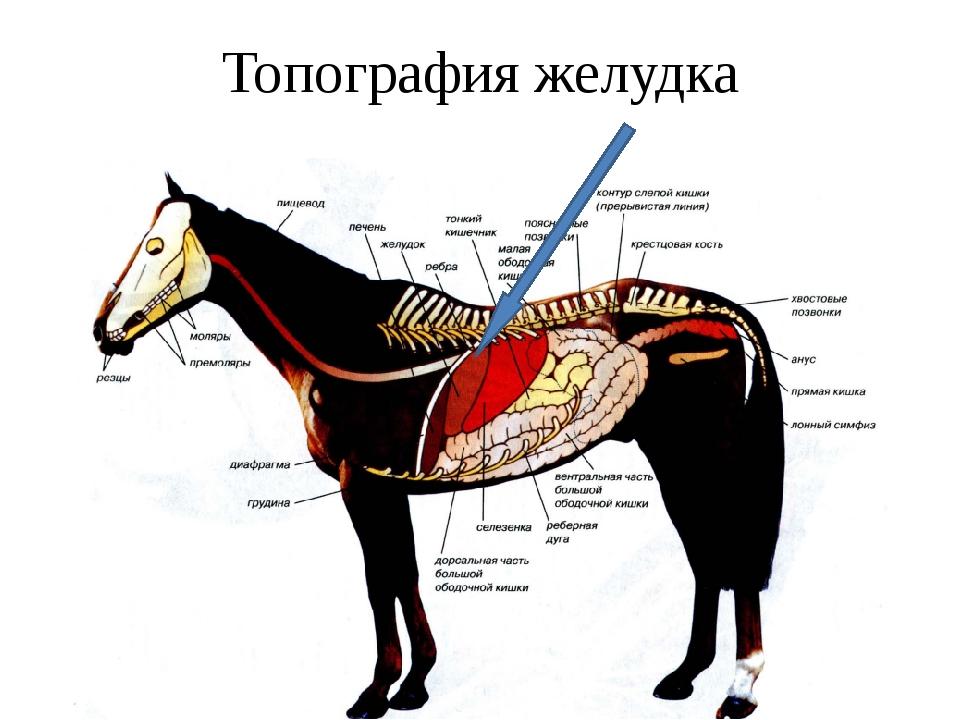 Топография желудка