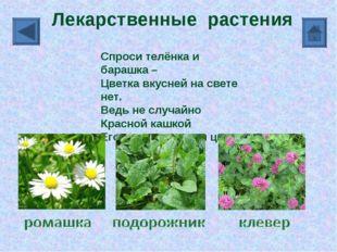 Лекарственные растения Спроси телёнка и барашка – Цветка вкусней на свете нет