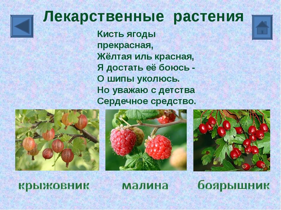 Презентация по окружающему миру Лекарственные растения  Лекарственные растения реферат для детей