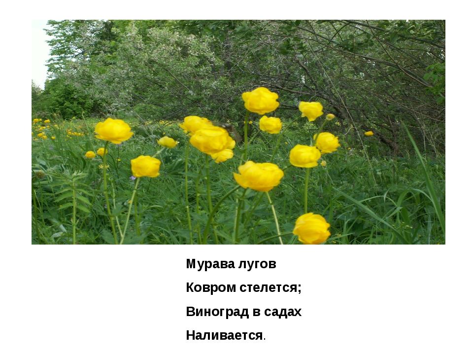 Мурава лугов Ковром стелется; Виноград в садах Наливается.
