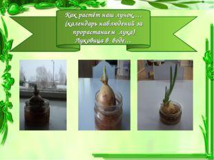 Как растёт наш лучок,… (календарь наблюдений за прорастанием лука) Луковица в