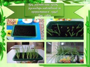 Как растёт наш лучок… (календарь наблюдений за прорастанием лука) Лук- севок