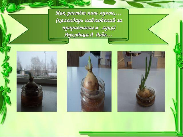 Как растёт наш лучок,… (календарь наблюдений за прорастанием лука) Луковица в...