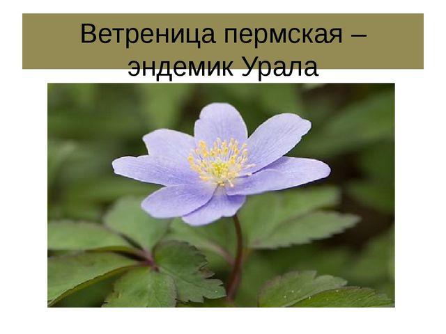 Ветреница пермская – эндемик Урала