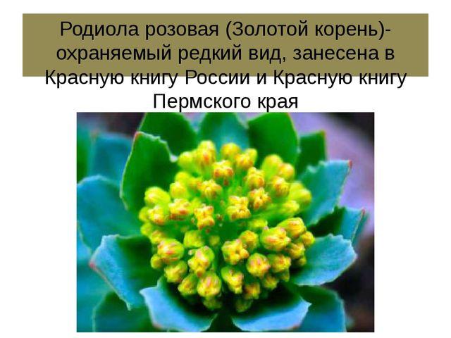 Родиола розовая (Золотой корень)- охраняемый редкий вид, занесена в Красную к...