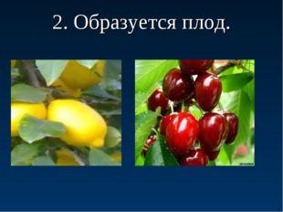 2. Образуется плод.