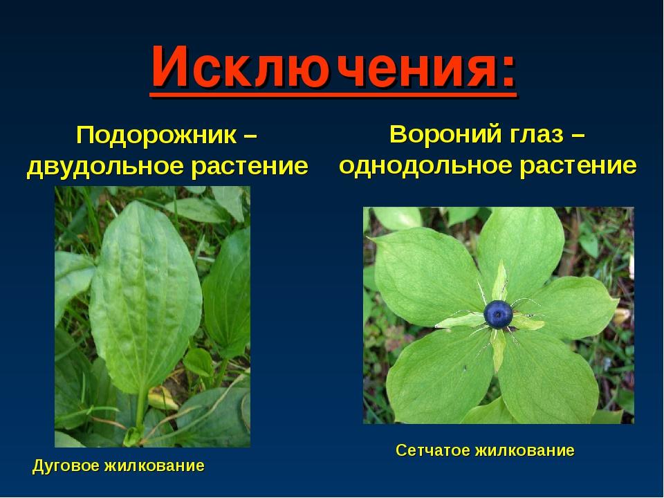 Исключения: Подорожник – двудольное растение Дуговое жилкование Вороний глаз...