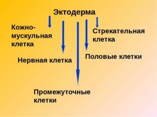 Эктодерма Кожно- мускульная клетка Нервная клетка Стрекательная клетка Промеж