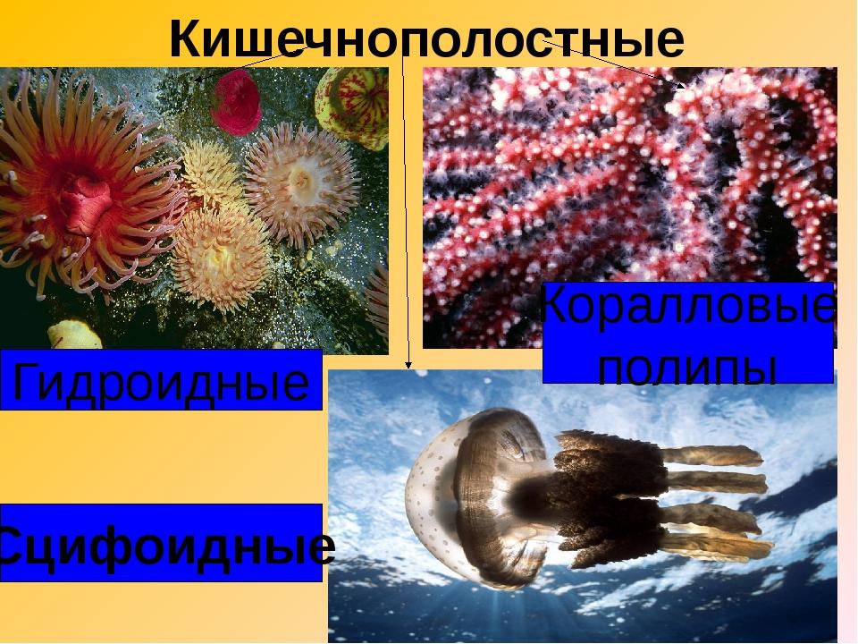 Кишечнополостные Гидроидные Сцифоидные Коралловые полипы