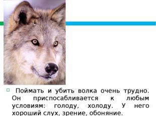 Поймать и убить волка очень трудно. Он приспосабливается к любым условиям: г