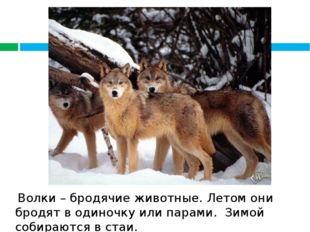 Волки – бродячие животные. Летом они бродят в одиночку или парами. Зимой соб