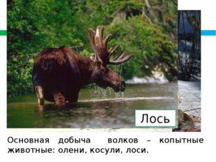 Олень Косуля Лось Основная добыча волков – копытные животные: олени, косули,
