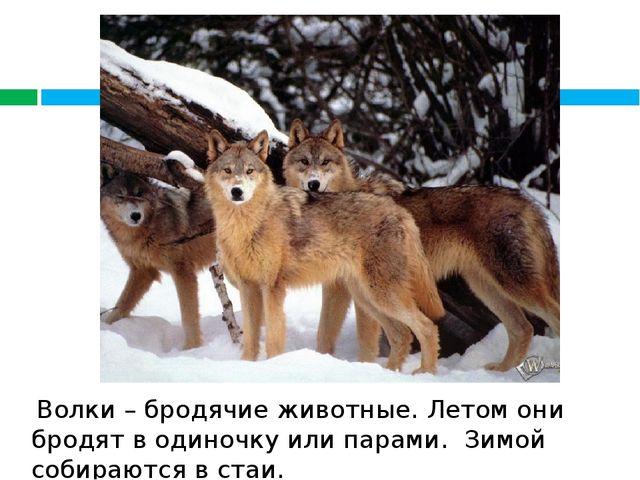 Волки – бродячие животные. Летом они бродят в одиночку или парами. Зимой соб...