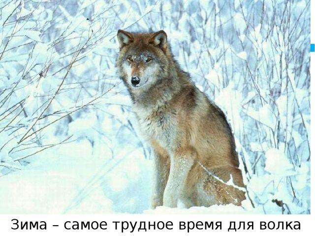 Зима – самое трудное время для волка