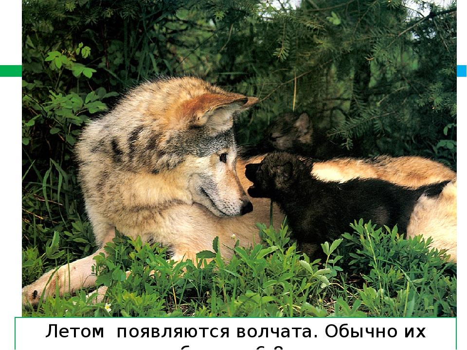 Летом появляются волчата. Обычно их бывает 6-8.