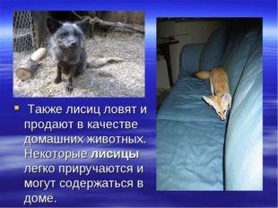 Также лисиц ловят и продают в качестве домашних животных. Некоторые лисицы л
