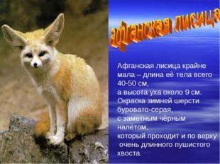 Афганская лисица крайне мала – длина её тела всего 40-50 см, а высота уха око