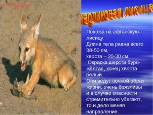 Похожа на афганскую лисицу. Длина тела равна всего 38-50 см, хвоста – 20-30 с