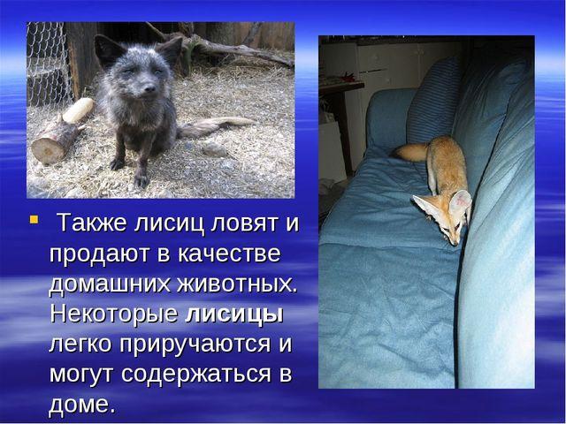 Также лисиц ловят и продают в качестве домашних животных. Некоторые лисицы л...