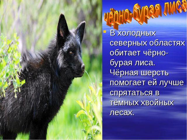 В холодных северных областях обитает чёрно-бурая лиса. Чёрная шерсть помогает...