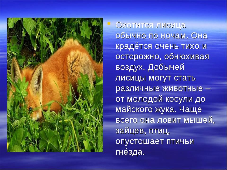 Охотится лисица обычно по ночам. Она крадётся очень тихо и осторожно, обнюхив...