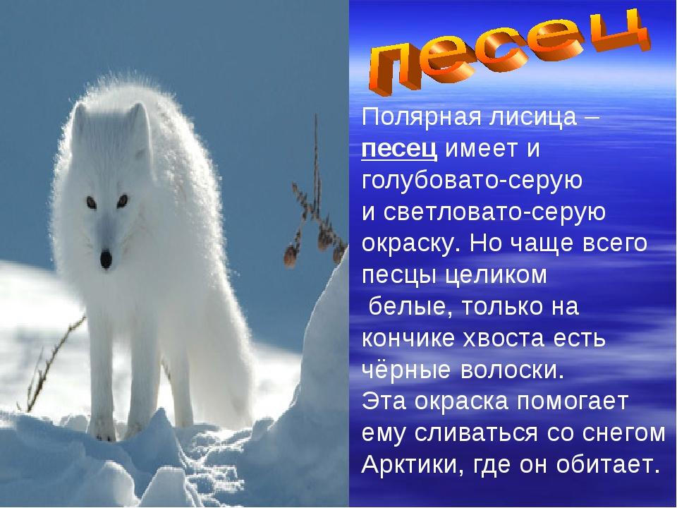 Полярная лисица – песец имеет и голубовато-серую и светловато-серую окраску....