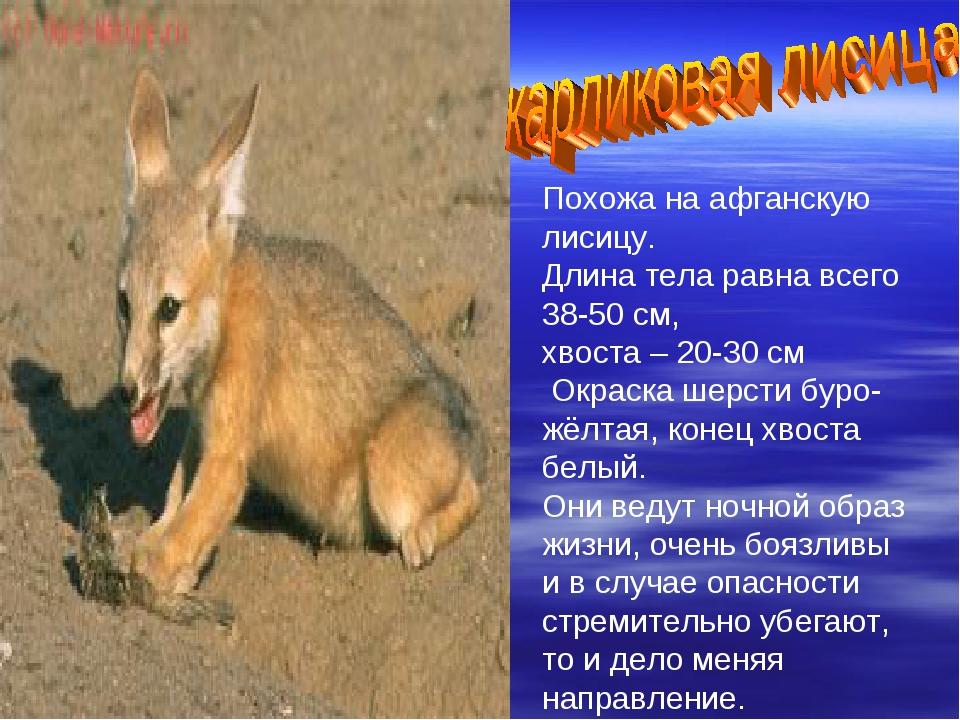 Похожа на афганскую лисицу. Длина тела равна всего 38-50 см, хвоста – 20-30 с...