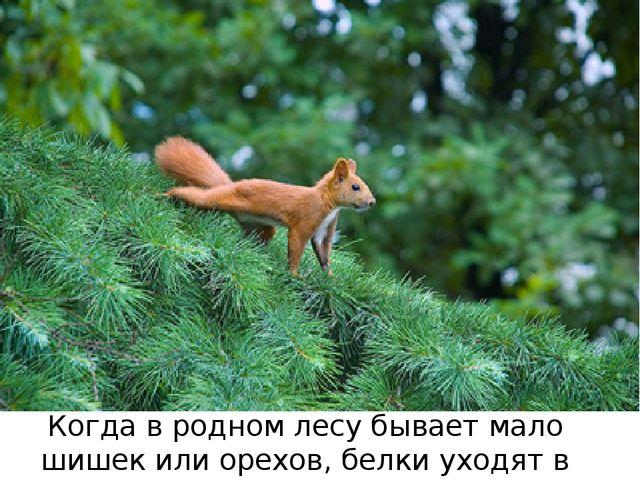 Когда в родном лесу бывает мало шишек или орехов, белки уходят в другие леса.
