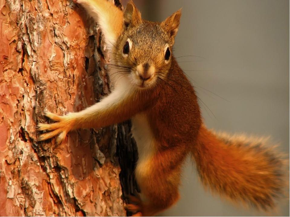 Отгадайте загадку: По веткам скачет, Да не птица, Рыжая, Да не лисица.