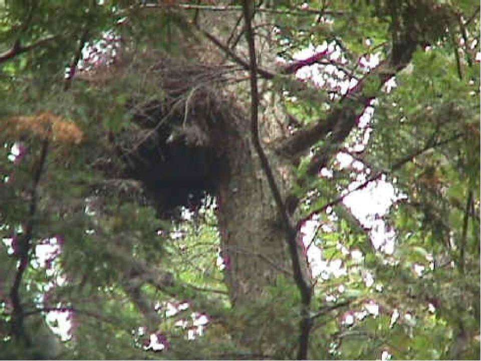 Дом белки обычно в дупле, или она делает на дереве большое гнездо из веток.